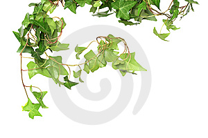 Green Ivy Stock Image - Image: 13848651