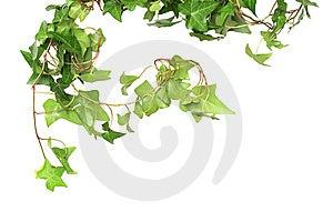 Green Ivy Stock Image - Image: 13848651