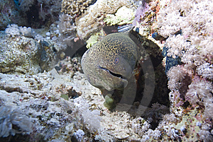 Giant Moray Royalty Free Stock Images - Image: 13852649