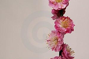 Blomma Frunchpersika Arkivbilder - Bild: 13854634