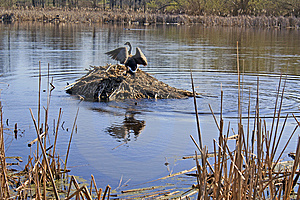 Canada Goose Strutting Atop A Muskrat Lodge Stock Image - Image: 13856571