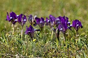 Violet Dwarf Iris Stock Photos - Image: 13857333