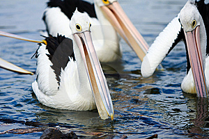 Pelicans Gathered Together In A Pond Royalty Free Stock Photography - Image: 13860937