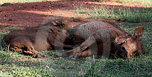 Wild Hogs Royalty Free Stock Photography - Image: 13863177