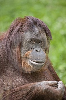 Orangutan Stock Photography - Image: 13863442