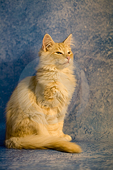 Proud Furry Red Purebred Cat Stock Photography - Image: 13865782