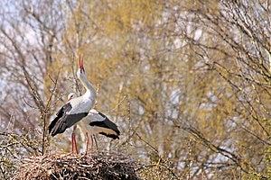 White Stork Couple Nesting Stock Photography - Image: 13866422