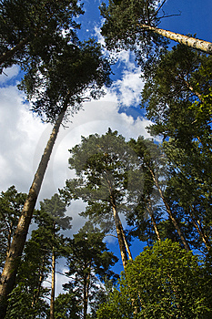 Pine Trees Royalty Free Stock Image - Image: 13867176