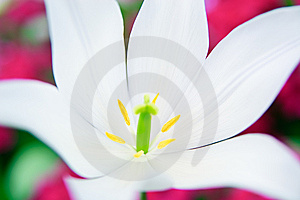 Close-up Of A White Lily Royalty Free Stock Photography - Image: 13867437