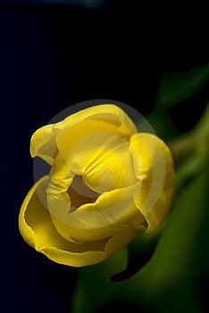 Tulip Close-up Stock Image - Image: 13870231
