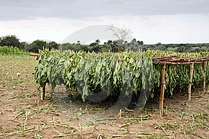 Tobacco Leafs Drying In A Farm, Cuba Royalty Free Stock Photos - Image: 13876048