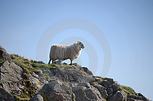 Sheep On Hilltop Royalty Free Stock Photo - Image: 13881675