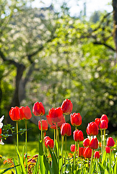 Red Tulips Stock Photo - Image: 13885950