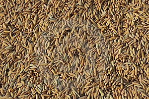 Rice Seeds Royalty Free Stock Photography - Image: 13889637