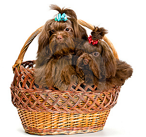 Two Lap Dogs In A Basket Stock Images - Image: 13891164