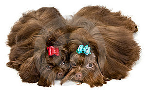 Two Lap Dogs In Studio Stock Photos - Image: 13891193
