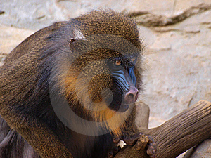 Mandrill Stock Photography - Image: 13892652