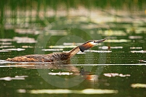 Grebe Crested Swiming In The Lake Royalty Free Stock Image - Image: 13894346