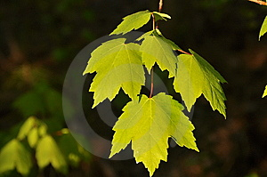 Maple Royalty Free Stock Image