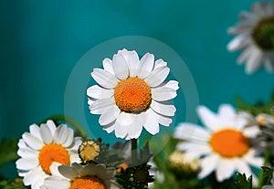 Florists Chrysanthemum Royalty Free Stock Image - Image: 13896726