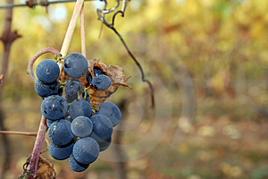 Small Grape Cluster After Harvest Stock Image - Image: 1391161