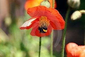 Humblebee & Flower Stock Image - Image: 1392011