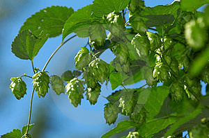 Hop Is Ready For Harvest Stock Photos - Image: 1392833