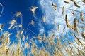 Rye field in late summer1