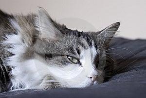 Lazy Cat Royalty Free Stock Image - Image: 13908066