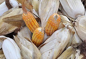Corn Stock Photo - Image: 13909230