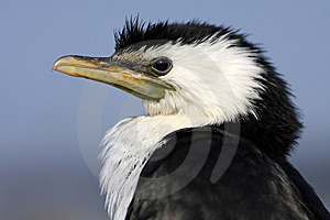 Little Pied Cormorant Royalty Free Stock Image - Image: 13909236