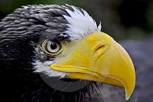EAGLE Royalty Free Stock Photography - Image: 13909257