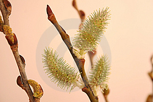 Expanded Pussy Willow Buds Royalty Free Stock Images - Image: 13911029