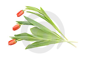 Three Tulips Stock Photography - Image: 13911382