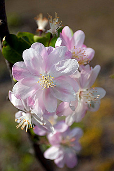 Plum Blossom Stock Images - Image: 13918874