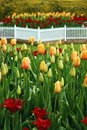 Tulip garden in spring Royalty Free Stock Image