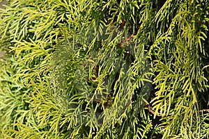 Evergreen Leaves Stick Close Up Royalty Free Stock Image - Image: 13923716