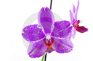 Single Purple Orchid With White Pattern Stock Image - Image: 13928071