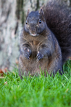Squirrel Up Close Royalty Free Stock Photography - Image: 13929657