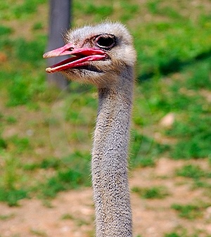 Ostrich Stock Photography - Image: 13935032