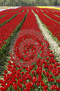 Rows Red Tulips Royalty Free Stock Photo - Image: 13935515