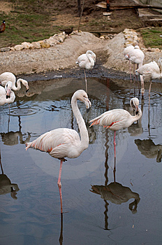 Pink Flamingo Royalty Free Stock Images - Image: 13938319