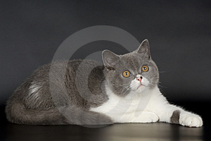 British Cat Stock Photo - Image: 13941210