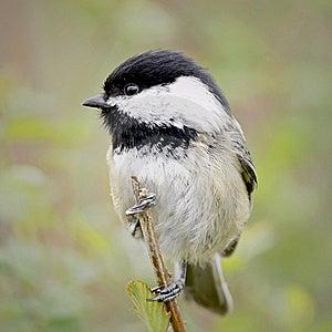 Small Bird Chickadee Stock Image - Image: 13942871