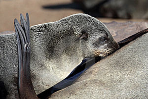 South African Fur Seal Pup Drinking Milk Stock Photography - Image: 13946092