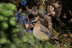 Cedar Waxwing Royalty Free Stock Photography - Image: 13946587