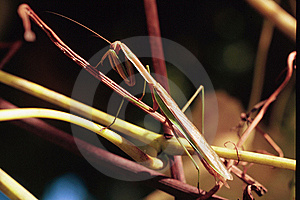 Praying Mantis Royalty Free Stock Image - Image: 13948696