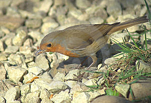Robin And Worms On Pebble Background Stock Photography - Image: 13954502