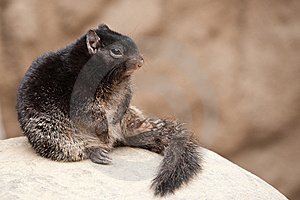 Cute Rock Squirrel Royalty Free Stock Photography - Image: 13954747