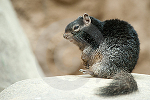 Cute Rock Squirrel Royalty Free Stock Photos - Image: 13954758